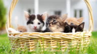 Portrait of a many little cats in basket. video