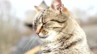 Portrait of a Striped Cat video