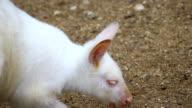 portrait of a white albino wallaby kangaroo video