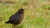 Portrait of a young blackbird among vegetation video
