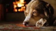 Portrait of Australian Shepherd, dozing near the fireplace video