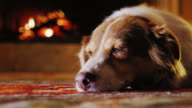 Portrait of Australian Shepherd, resting on a background of the fireplace in the house video