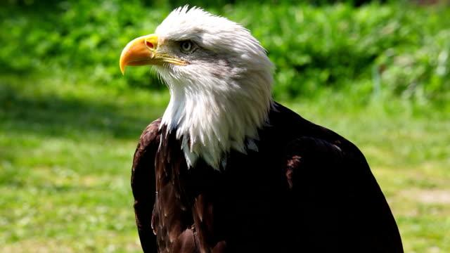 Portrait of Bald Eagle video