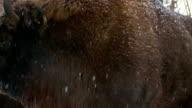 Portrait of bison second video