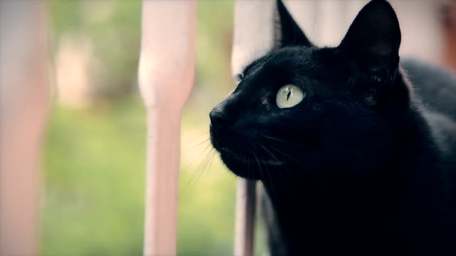 Portrait of black cat video