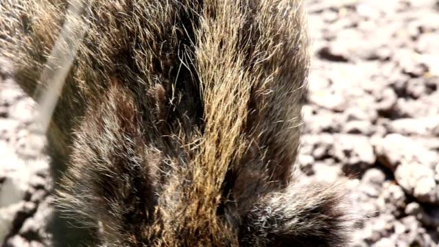 Portrait of curious wild boar video