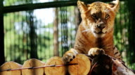 Portrait of cute baby liger resting video