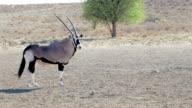 portrait of Gemsbok, Oryx gazella video
