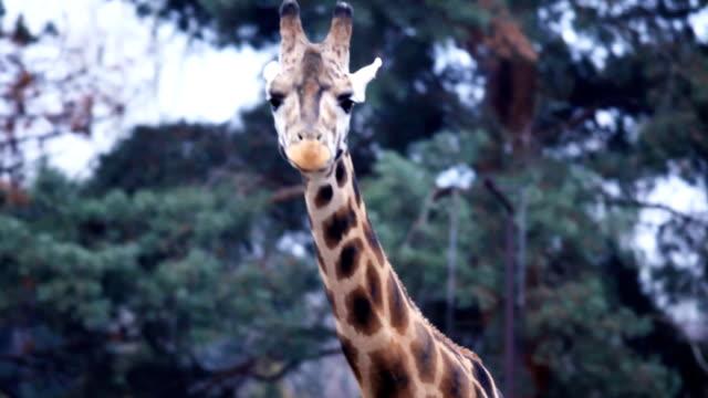 Portrait of giraffe walking. video