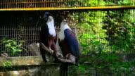 Portrait of hawk video