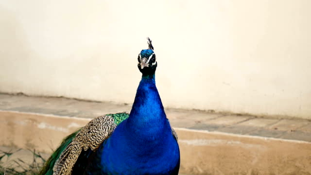 Portrait of One Beautiful Peacock with Colourful Long Tail in the Zoo. Male Peafowl is Screaming Looking at the Camera Outdoors. video