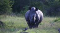 Portrait of one rhino standing in grass video