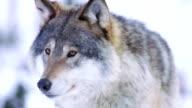 Portrait of satisfied wolf cleaning teeth video
