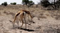 Portrait of springbok antelope grazing in kgalagadi national Park, Namibia video