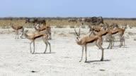 Portrait of springbok antelope waiting behind overfull waterhole video