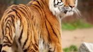 Portrait of tiger. video