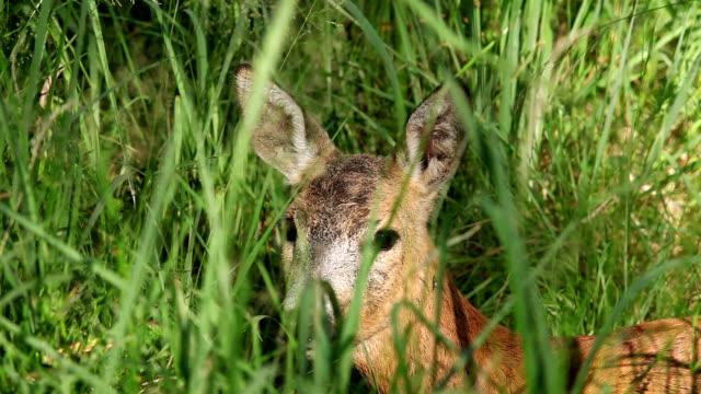 Portrait of wild roe deer lying in the grass video
