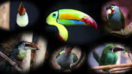 Portraits of Toucans, Collage video