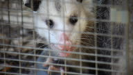 possum in a trap video
