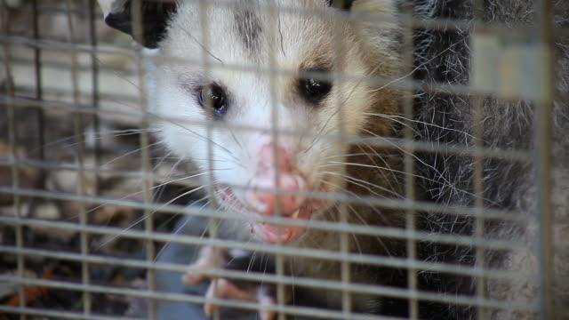 possum in a trap video