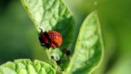 Potato beetle. Larva video