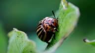 potato beetle video
