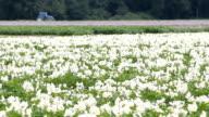 Potato Blossoms and Tractor video