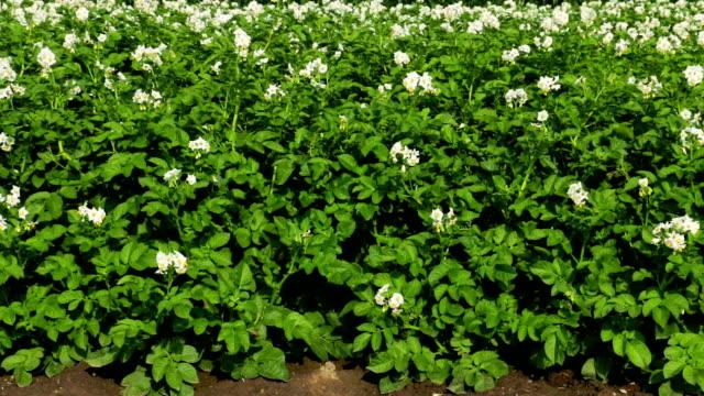 Potato Field in bloom video