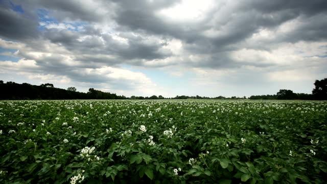 Potato Field video
