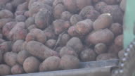 Potato tubers dug up recently, lie in hopper of combine video