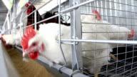 Poultry farm video