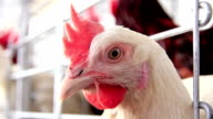 Poultry farm video