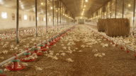 Poultry farming video