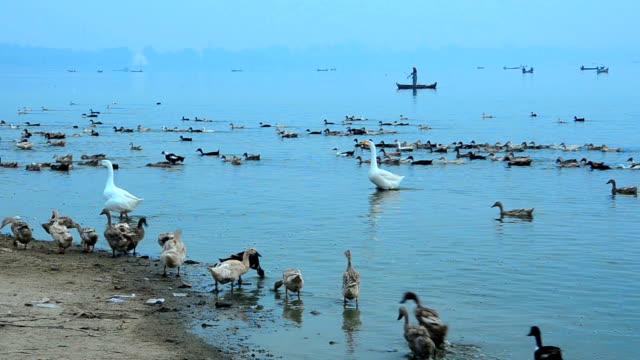 Poultryman herd his ducks around the river, Myanmer video