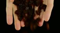 Pouring black raisin. Front view video