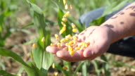 SLO MO Pouring Corn Maize Into A Hand video