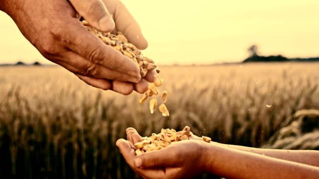 SLO MO Pouring corn maize into child's hand video
