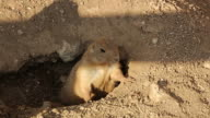 Prairie Dog Adult Alert at Burrow Entrance video