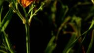 prairie flowers: orange daylily video