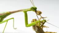 Praying Mantis Feeding video
