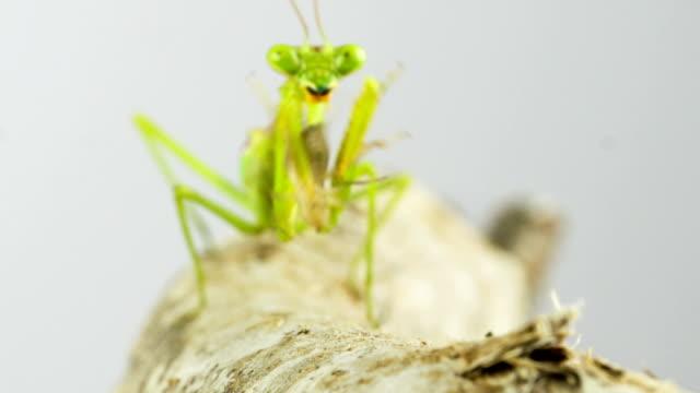 Praying Mantis Hunting video