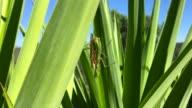 Praying mantis in love! video