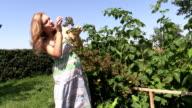 Pregnant woman eats blackberry berry from bush twig in garden video