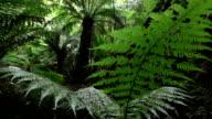 SLOW MOTION: Prehistoric lush fern growing in huge old overgrown rainforest video