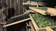 Preparation and drying of flowers and leaves video