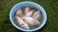 Preparation tilapia fish in bucket for cooking. video