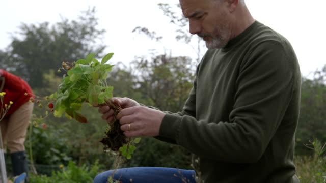 Preparing strawberries for replanting video