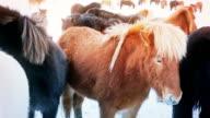Pretty black and rufous Icelandic horses video