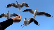 SLOW MOTION: Pretty brave seagull descending and catching the food while flying video