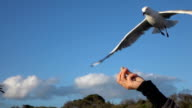 CLOSE UP: Pretty, brave seagull succeeding at catching the food while flying video